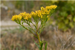 Ohio Goldenrod